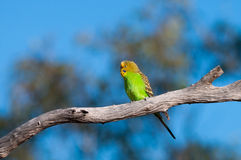 Wild Budgerigar Royalty Free Stock Image
