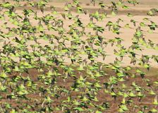 Wild Budgies in Queensland Australia Stock Images