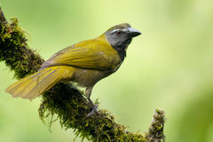 Buff-throated Saltator Royalty Free Stock Images