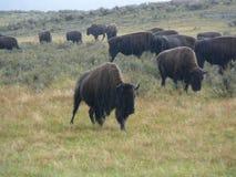 Wild Buffalo. Running free on the range, is the wild buffalo Royalty Free Stock Image