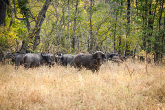 Wild buffalo Royalty Free Stock Image
