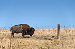 Wild buffalo on Antelope island, Great Salt Lake Stock Photo