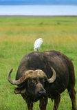 Wild Buffalo and Bird Royalty Free Stock Image