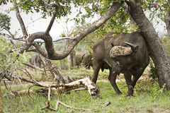 Wild buffalo in the bush, Kruger national park, SOUTH AFRICA Royalty Free Stock Image
