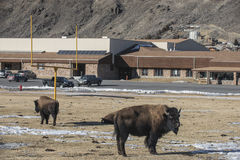 Wild Buffalo in the City of Gardiner Royalty Free Stock Image