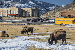 Wild Buffalo in the City of Gardiner Royalty Free Stock Photography