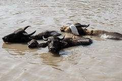 Wild buffalo family Royalty Free Stock Image