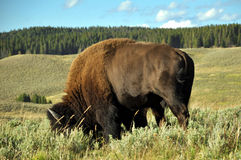 Wild buffalo grazing Stock Photography