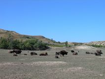 Wild Buffalo Herd. At the Theodore Roosevelt National Park royalty free stock photo