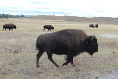 Wild Buffalo herd looking for food at Yellowstone. Wild buffalo herd traveling and searching for food at Yellowstone National Park royalty free stock images
