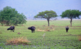Wild Buffalo in Kenya Royalty Free Stock Photos