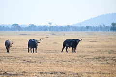 Wild buffalo in Kenya Royalty Free Stock Photo