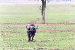 Wild buffalo in Kenya Royalty Free Stock Image