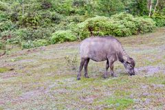Wild buffalo live in the forest part 5. Wild buffalo live in the forest, have a habit of living in the grasslands, savannahs, aggressive and not yet thoroughbred stock images