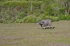 Wild buffalo live in the pine forest, have a habit of living in the grasslands part 3. Wild buffalo live in the pine forest, have a habit of living in the royalty free stock photo