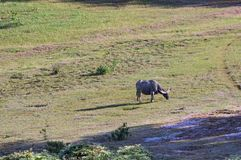 Wild buffalo live in the pine forest, have a habit of living in the grasslands. Savannahs, aggressive and not yet thoroughbred. Photo taken in Dalat, Vietnam stock photos