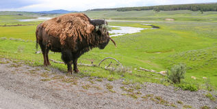 Wild Buffalo overlooking the vast grazing area of YNP Stock Photography