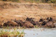 Wild buffalo. Sleep near the lake in Uganda Royalty Free Stock Image