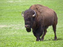 Wild male buffalo. Wild buffalo walking in Badlands National Park, South Dakota Royalty Free Stock Images
