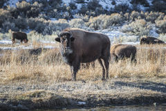 Wild Buffalo in winter - Yellowstone National Park Stock Photography