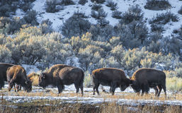 Wild Buffalo in winter - Yellowstone National Park Stock Photos