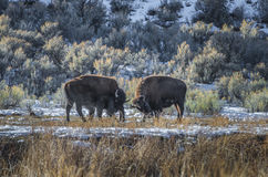 Wild Buffalo in winter - Yellowstone National Park Royalty Free Stock Photography