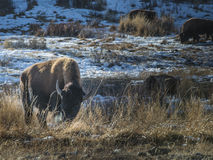 Wild Buffalo in winter - Yellowstone National Park Royalty Free Stock Image