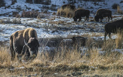 Wild Buffalo in winter - Yellowstone National Park Stock Image