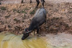 Wild buffaloes in the waters of the Mekong in Cambodia, Asia royalty free stock photography