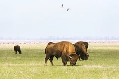 Wild buffalos Stock Photos