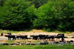 Wild buffalos Royalty Free Stock Photos
