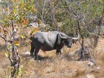 wild buffel arkivbilder