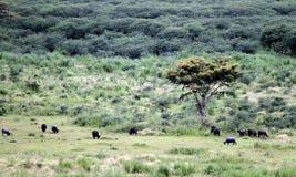 wild buffel Fotografering för Bildbyråer