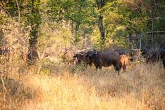 wild buffel Arkivfoton