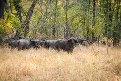 wild buffel Royaltyfri Bild