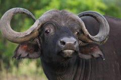 wild buffelkenya mara masai royaltyfria bilder