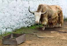 Wild bull in the aviary zoo Royalty Free Stock Photo