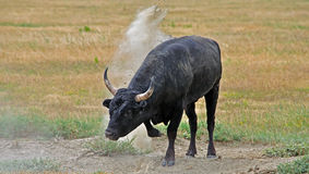 A wild Bull of the Camargue Stock Photos
