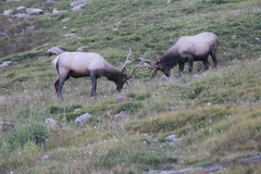 Wild Bull Elk Fighting. Two wild bull elk fighting / head butting on a hillside in Rocky Mountain National Park, Colorado Stock Photography