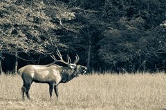 Wild bull elk with huge antlers bugling during rutting season at Cataloochee in the Smoky Mountains of North Carolina. A male stag bugling during the elk mating stock photos