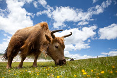 Wild bull on green grass Stock Photos