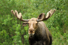 Wild Bull Moose in natural landscape Royalty Free Stock Photo