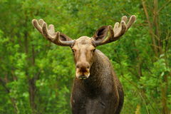 Wild Bull Moose in natural landscape Royalty Free Stock Image
