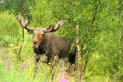 Wild Bull Moose in natural landscape Royalty Free Stock Photos
