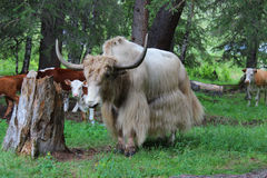 Wild bull Stock Image