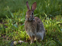 Wild Bunny. A wild rabbit poses for a picture Stock Image