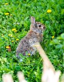 Wild Bunny in Abandoned Garden full with dandelions Royalty Free Stock Photos
