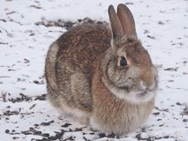 Wild Bunny eating under a birdfeeder and the ground is covered in Snow!. Wild Bunny eating dropped and left over seeds underneath a birdfeeder and the ground is Stock Image