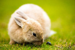 Wild Bunny Feeds on Local Grasses Cute Rabbit Stock Photography