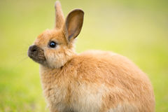 Wild Bunny Feeds on Local Grasses Cute Rabbit Stock Image